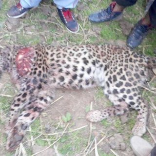 Since 2011 man-animal conflict claimed nearly 200 lives and over 2000 injured in J&K